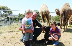 Mum watches Anthony and sons Nathan and Thomaswith Rowsey, a newborn camel calved in the Rowsley Valley. Photo – Jessica Howard